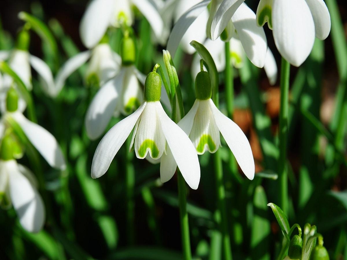 Snowdrop Sunday – The South Bucks Community Hospice