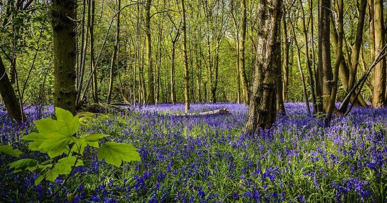 Bluebell Walks in Buckinghamshire for Families