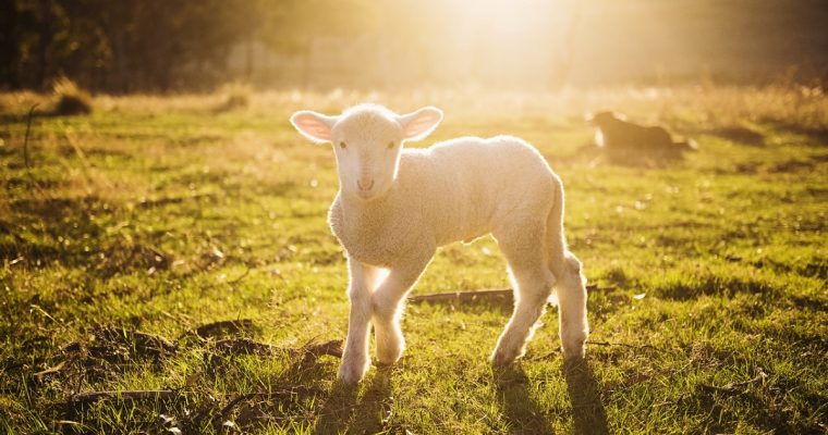 Lambing at Green Dragon Eco Farm